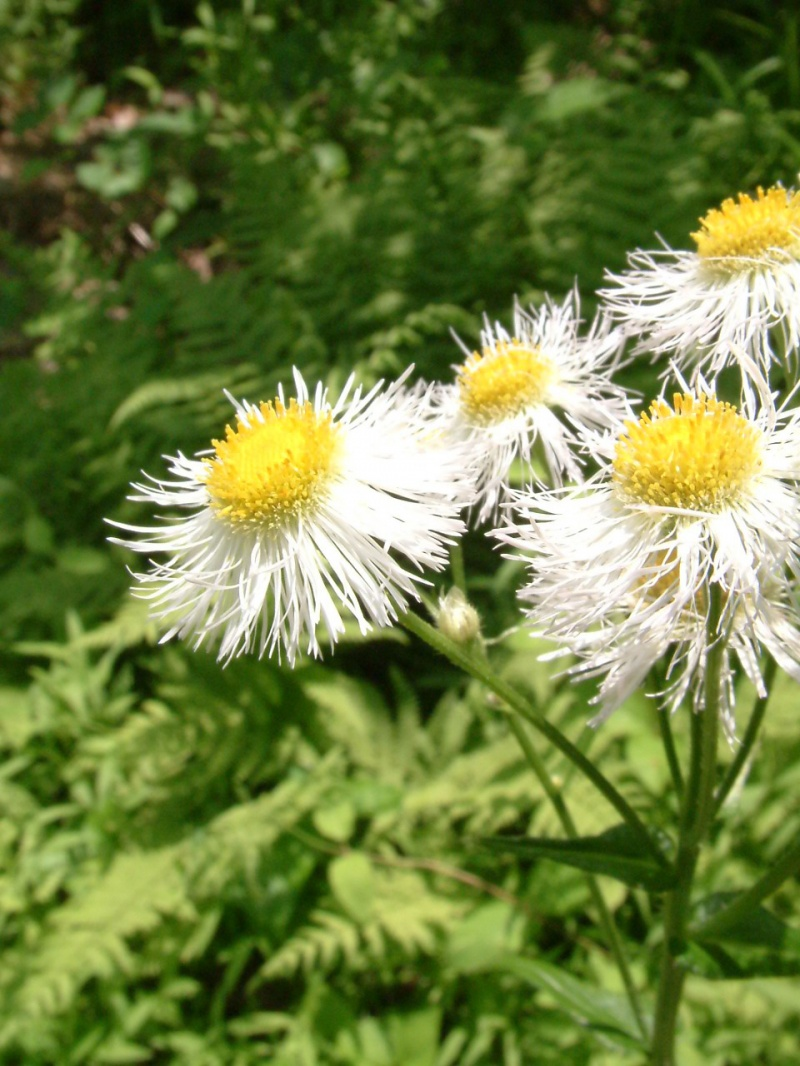 Wild Daises in the Woods