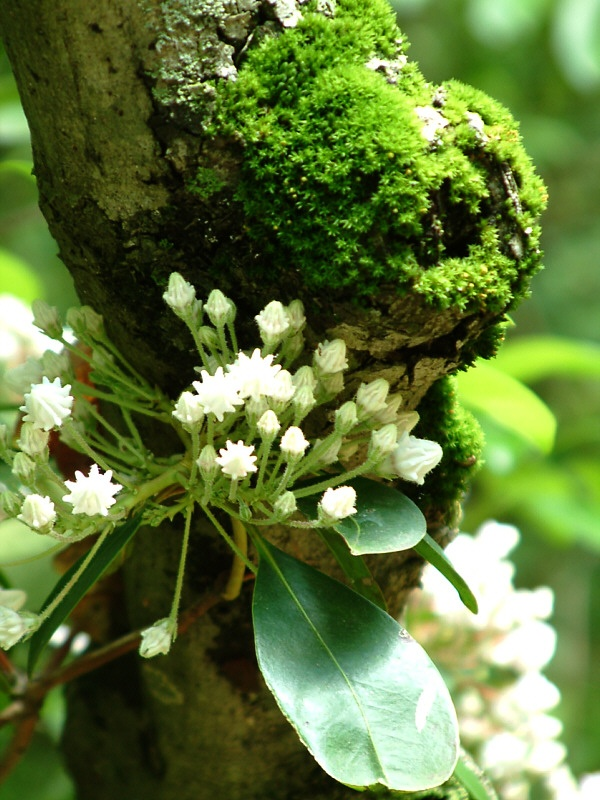 Mountain Laurel & Moss