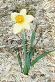 Flower (daffodill)