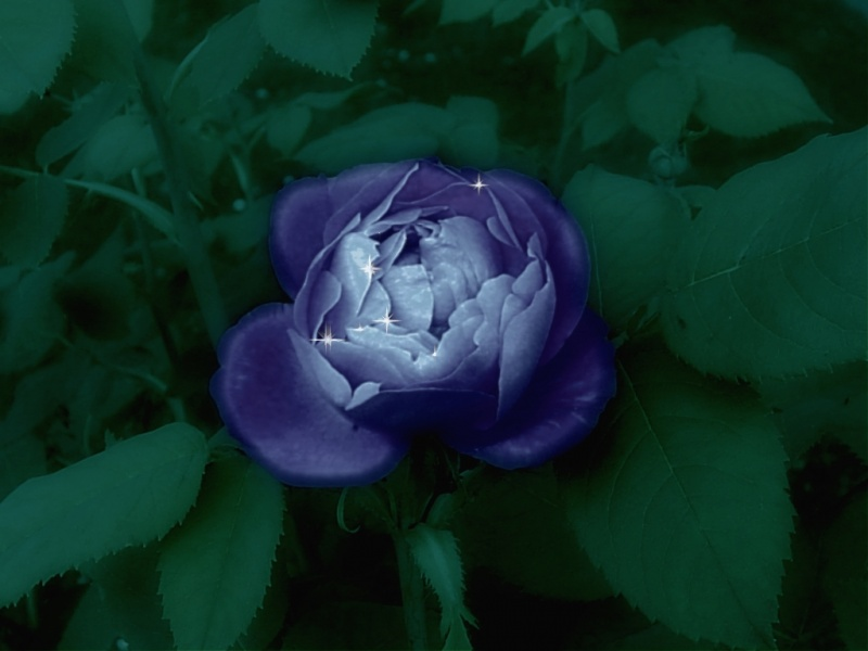 Iced blue rose
