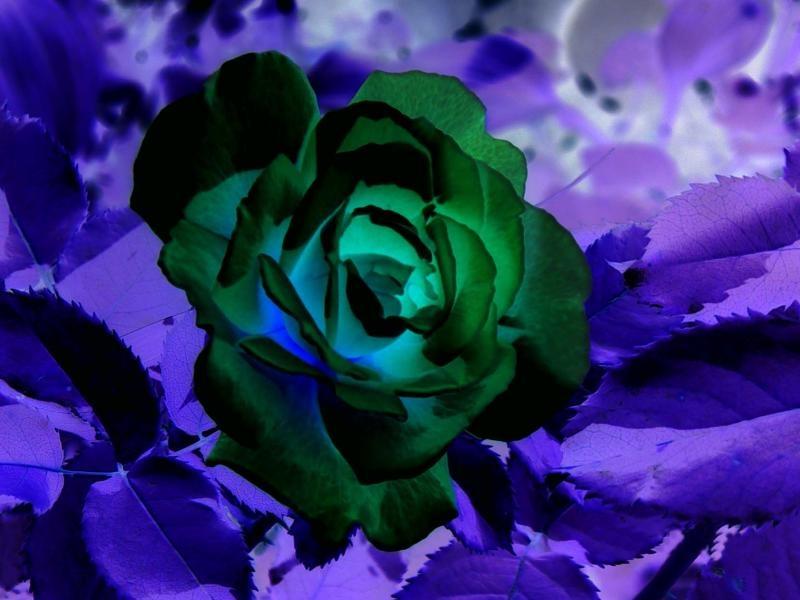 Negitive Rose