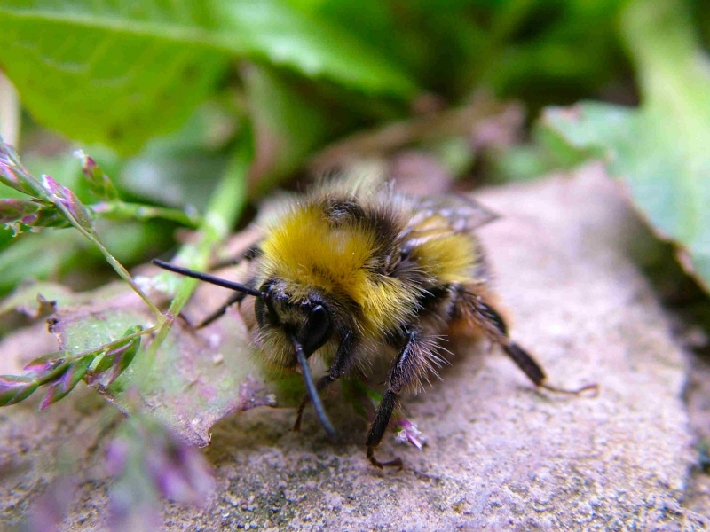 Bumble Bee of Lethargy