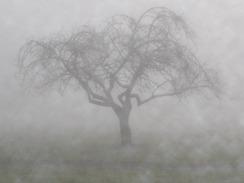 Cherry Tree in Fog