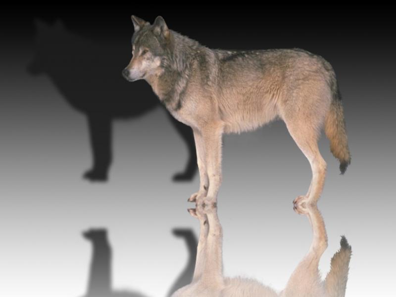 Wolf_mirror3