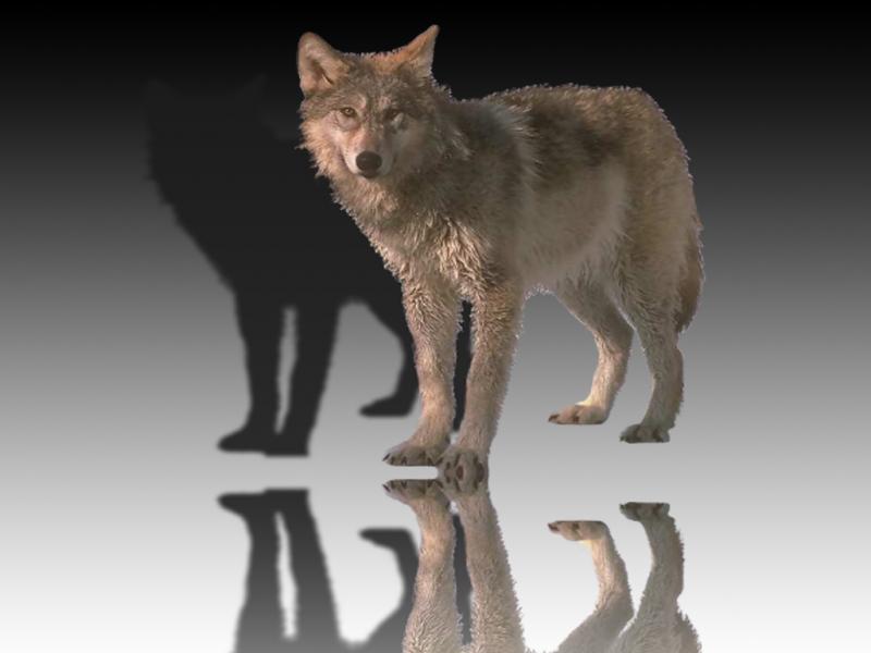 Wolf_mirror4