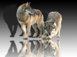 Wolf_mirror5