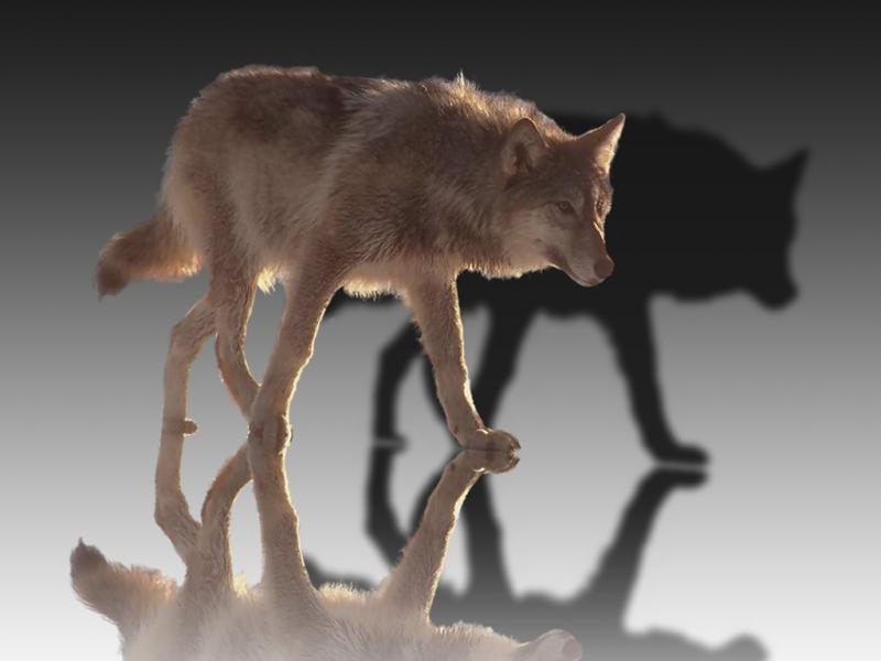Wolf_mirror6