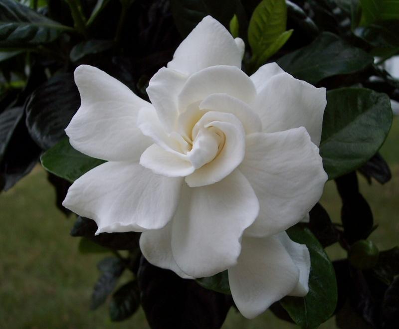 gardenia