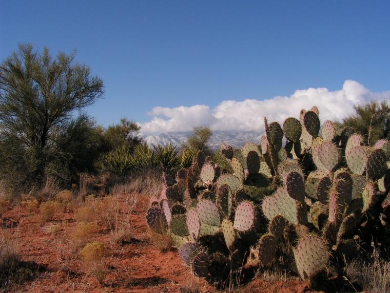 Cactus on Indian Mesa