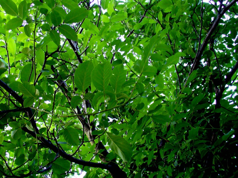 walnut-tree leafs