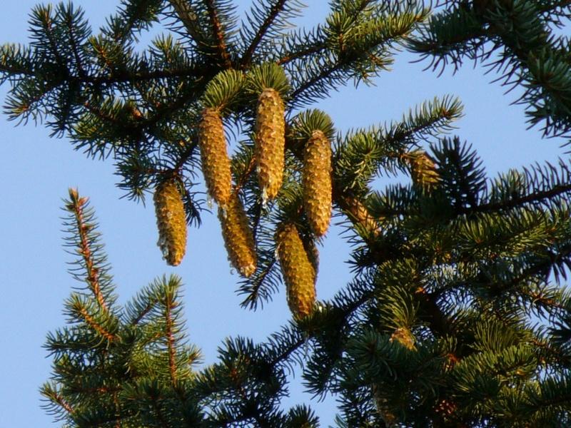 fir cones