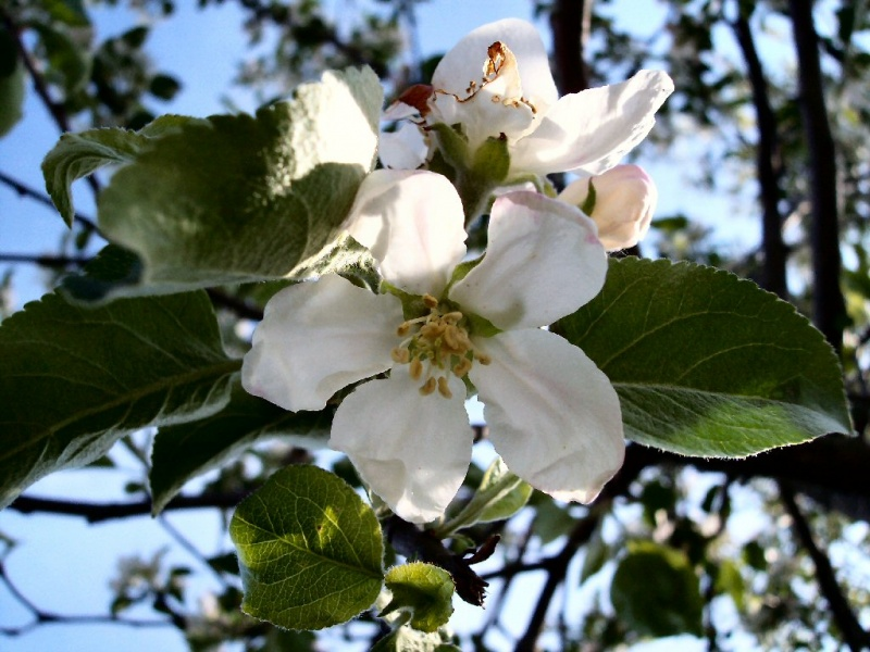 Apple Blossoms 01
