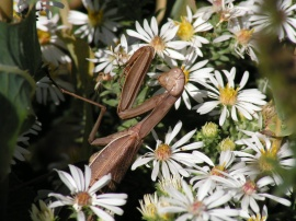 Mantis among the asters