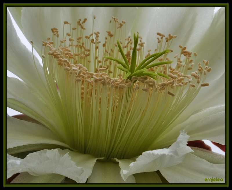 Dance of the Stamen´s