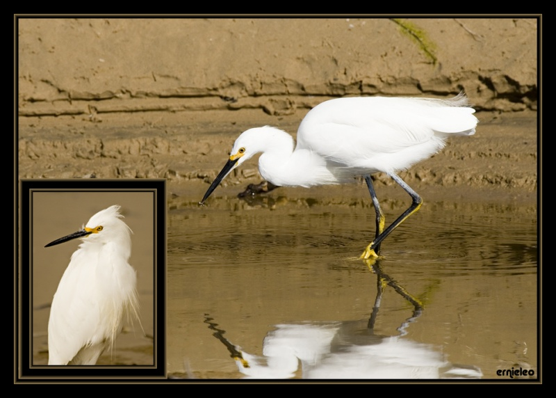 Double Snowy Egrets