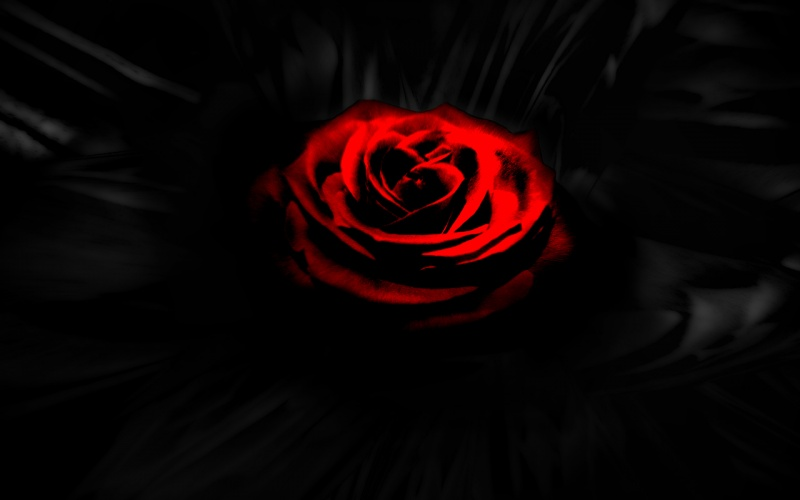 that red rose in the dark