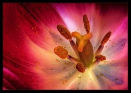 Tulip in HDR