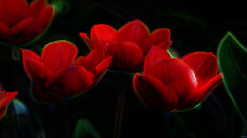 Tulips Glow