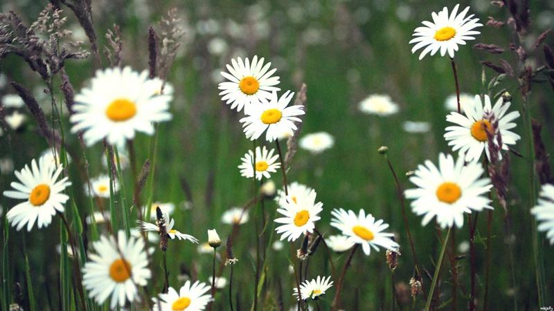 Season of the Daisy