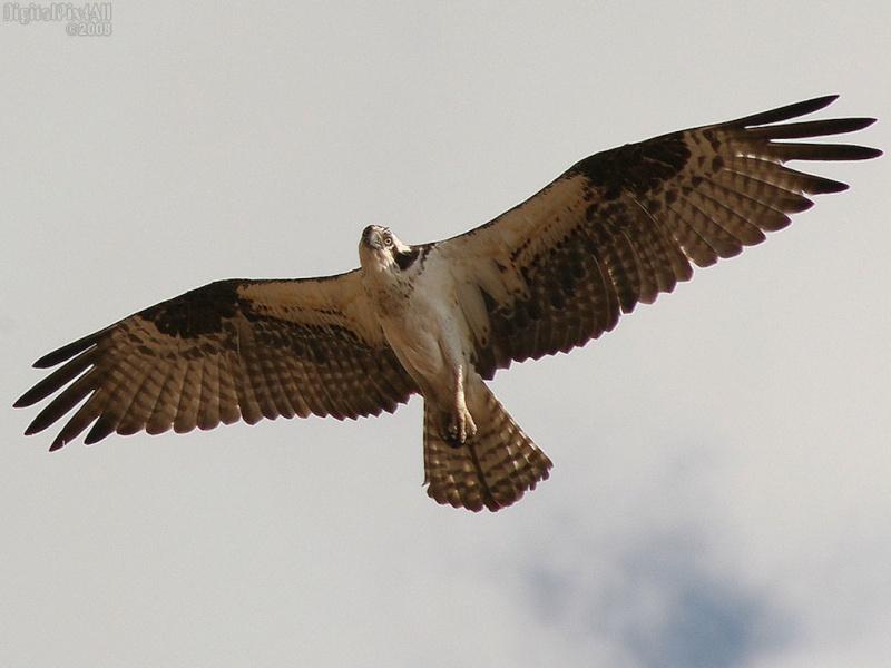 Wyoming Osprey