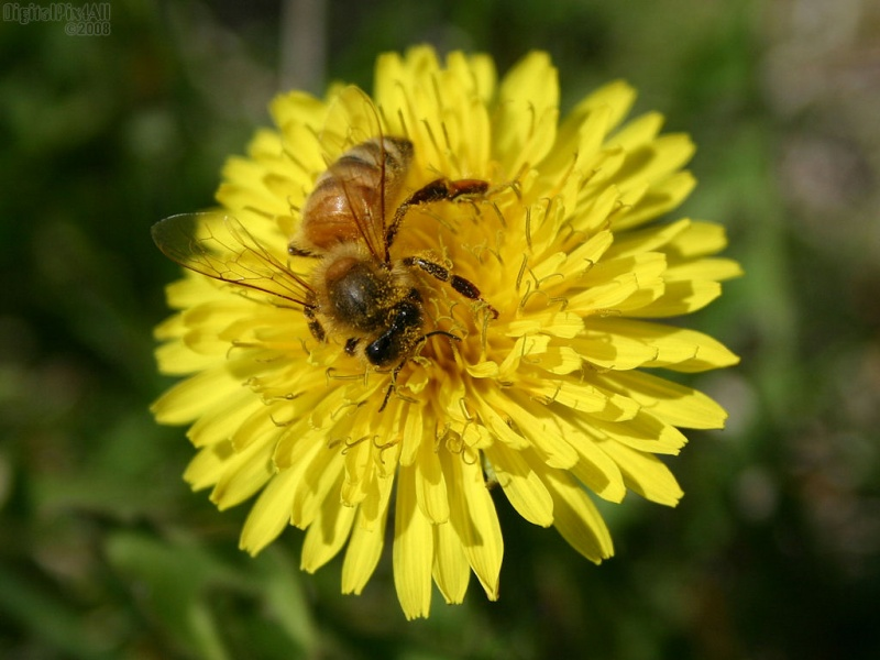 Dandy Bee