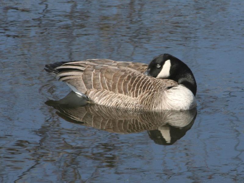 Resting Goose