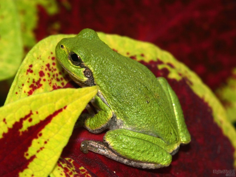 Coleus Frog