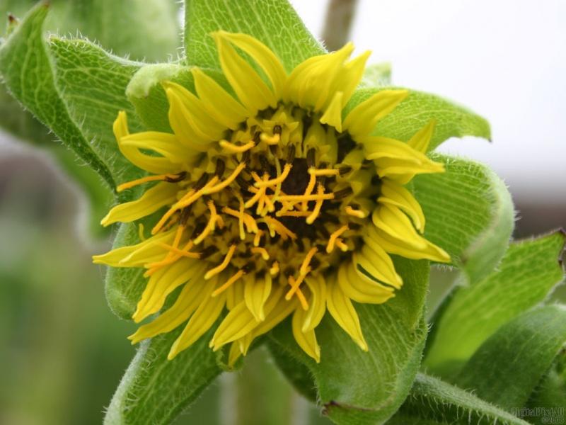 Infant Sunflower
