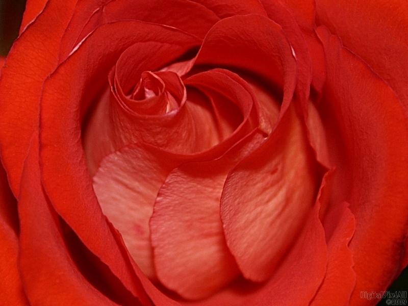 Rosest
