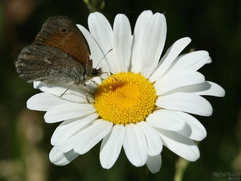 Daisy Butterfly