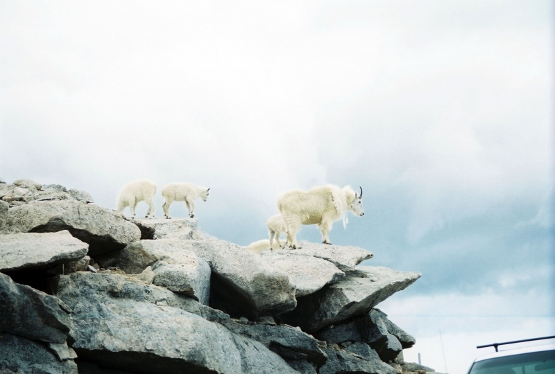 Mount Evans Rams ( Trail Ridge CO.)