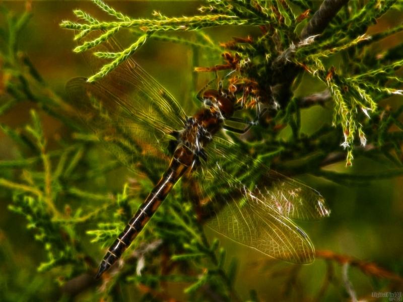 Mod Dragonfly