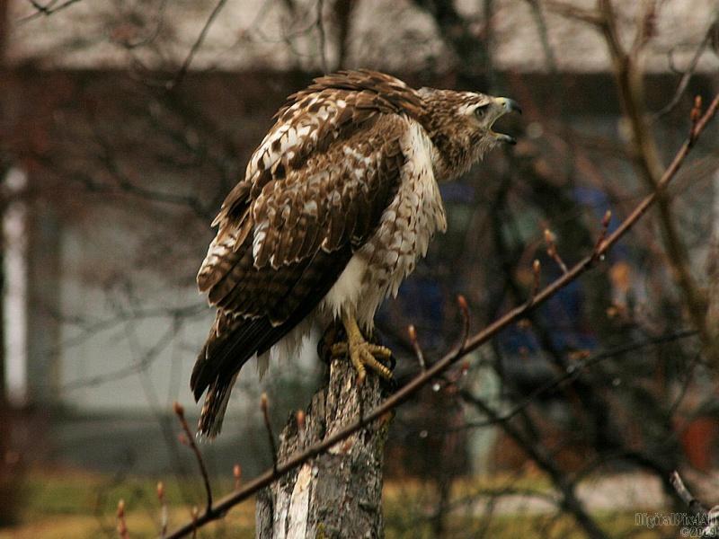 Angry Hawk