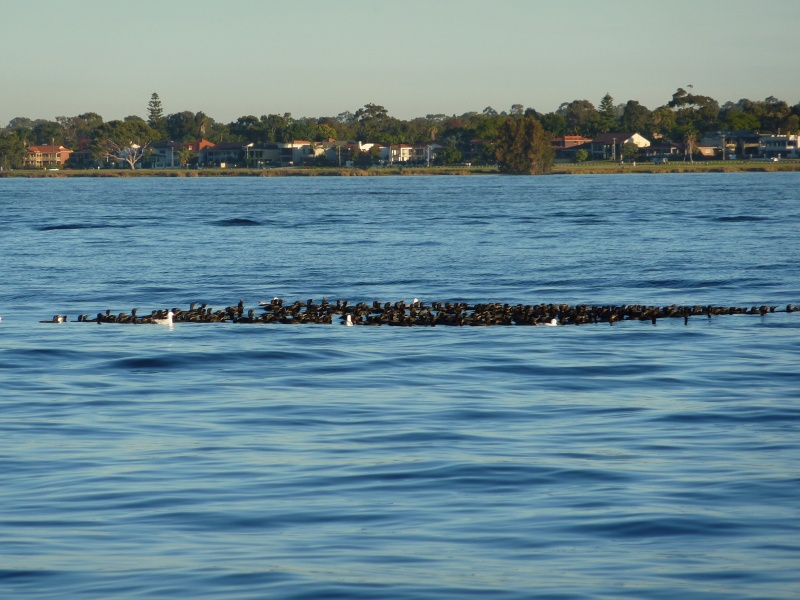 Birds on the river,Swan River Perth