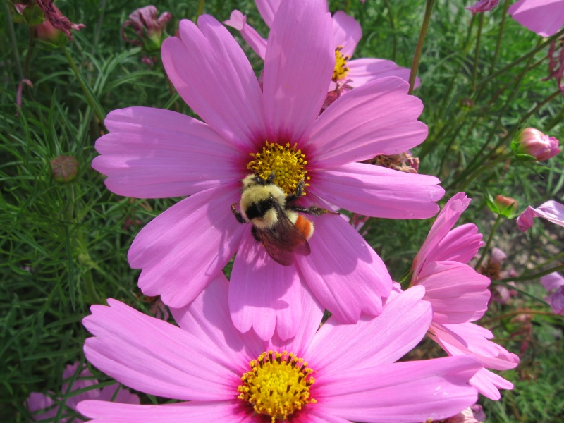Bumblebee on Cosmos