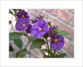Lycianthes rantonnetii (Blue Potato Bush)