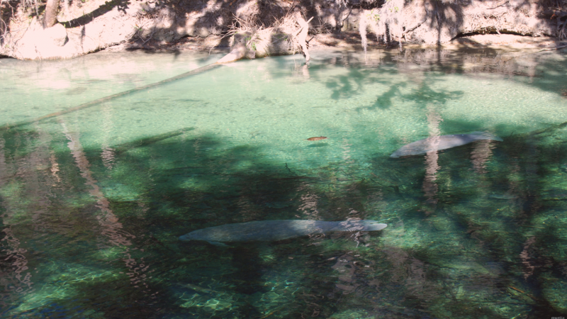 Swimming with the Manatees