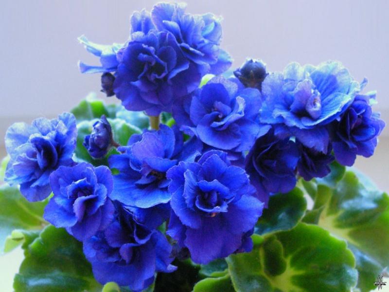 Saintpaulia Classic Blue
