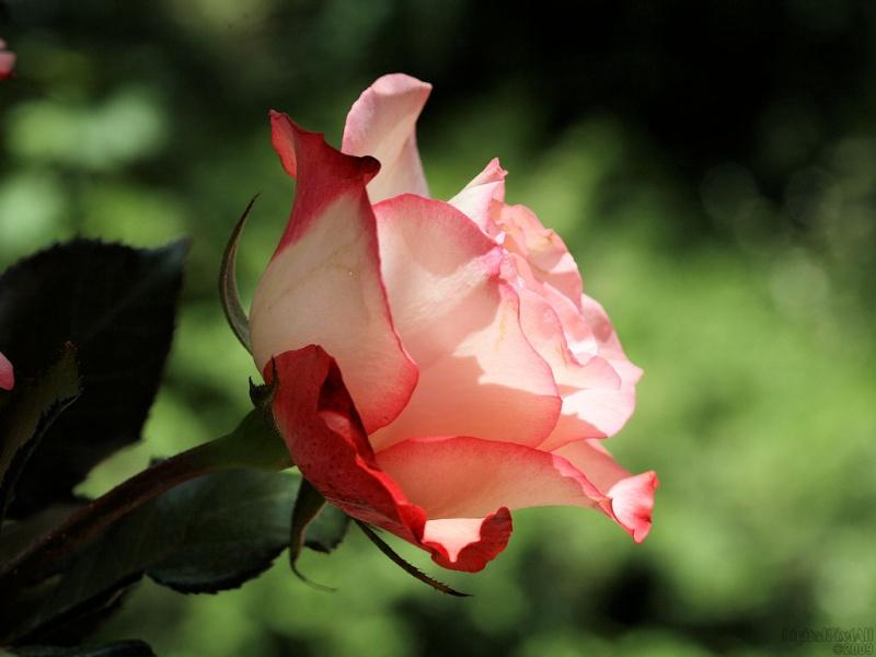 Red Edge Rose