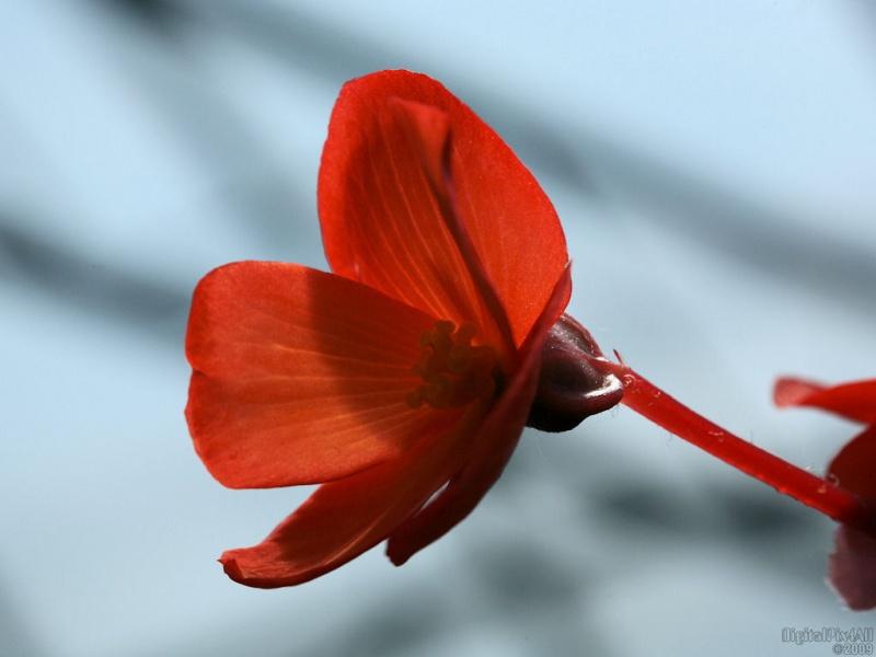 Baby Begonia