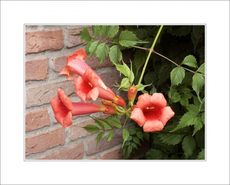 Bignonia (Campsis) radicans - Trumpet vine