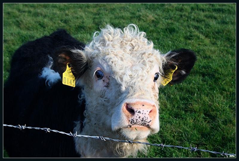 Irish calf