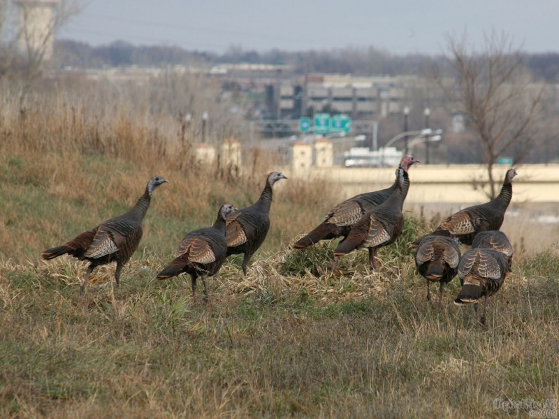Freeway Turkeys