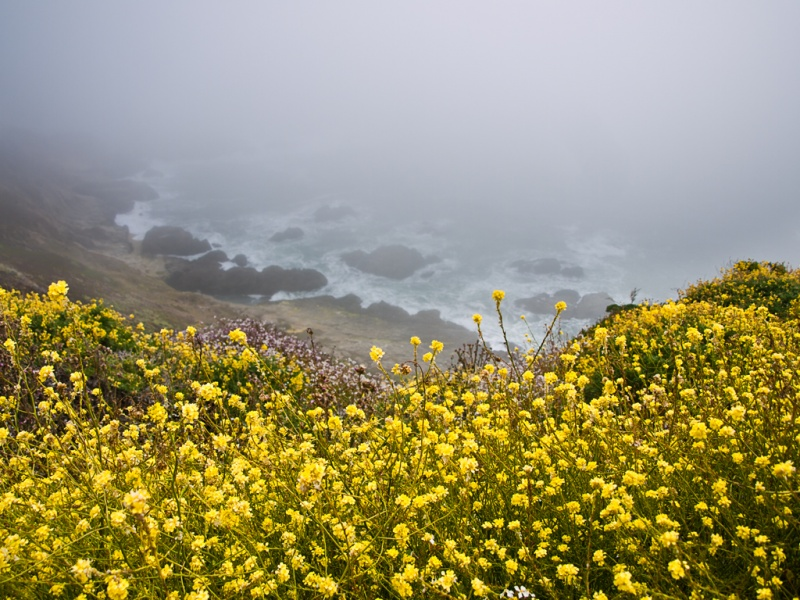 Mustard flowers into the fog