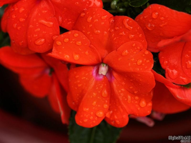 Rainy Petals