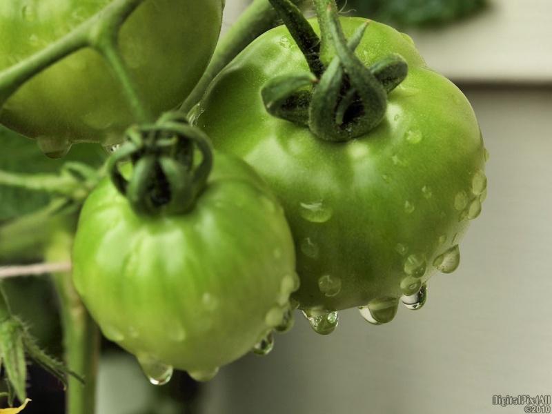 Wet Tomatoes