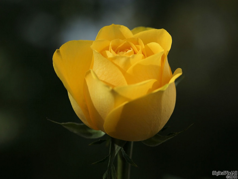 Rose Yello