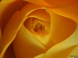 Yellow Insides