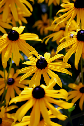 Daisys and Bees