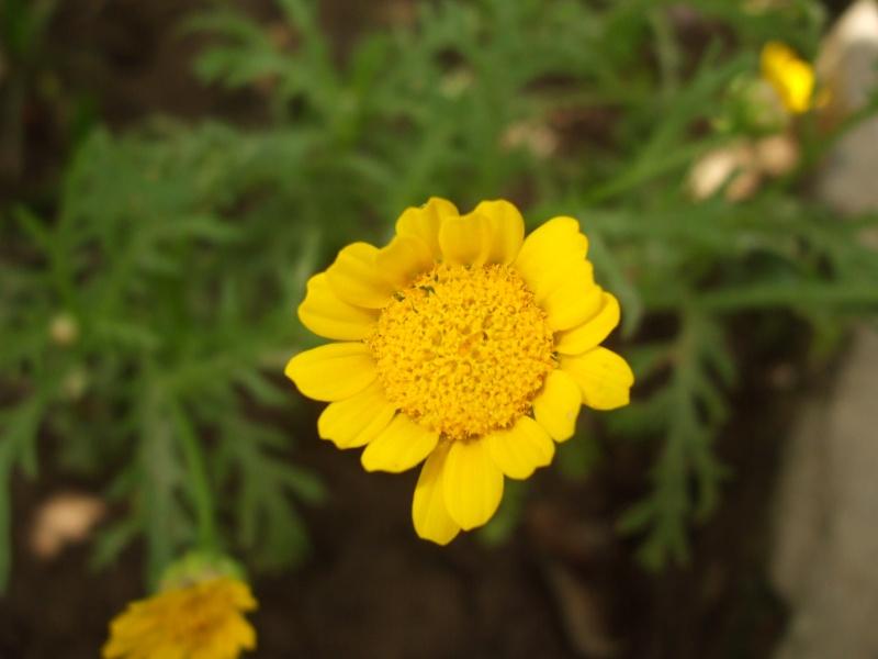 not a sun flower....
